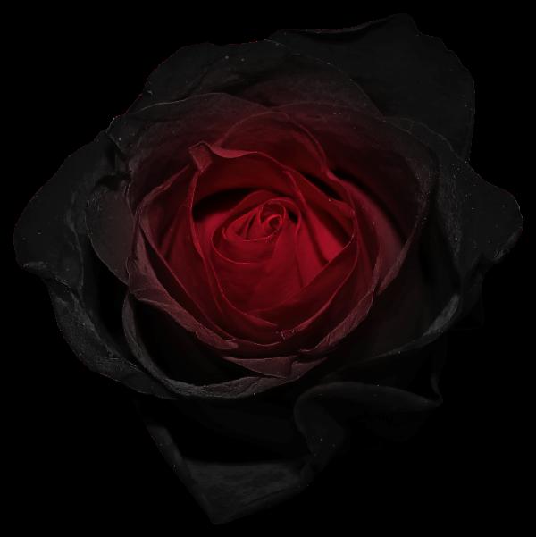 Tudor Rose.svg